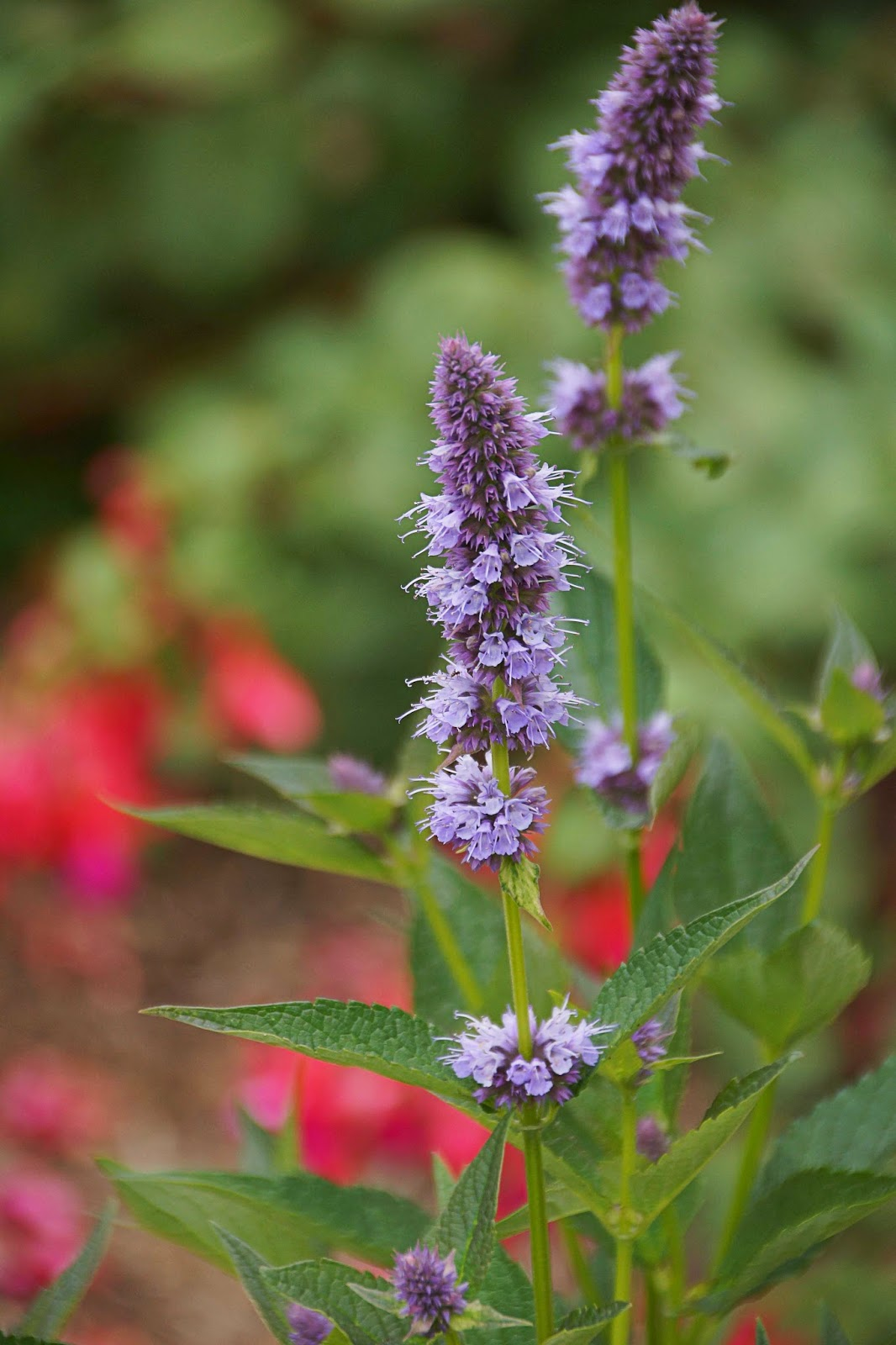 agastache 39 blue fortune 39 and other small unthirsty new acquisitions. Black Bedroom Furniture Sets. Home Design Ideas
