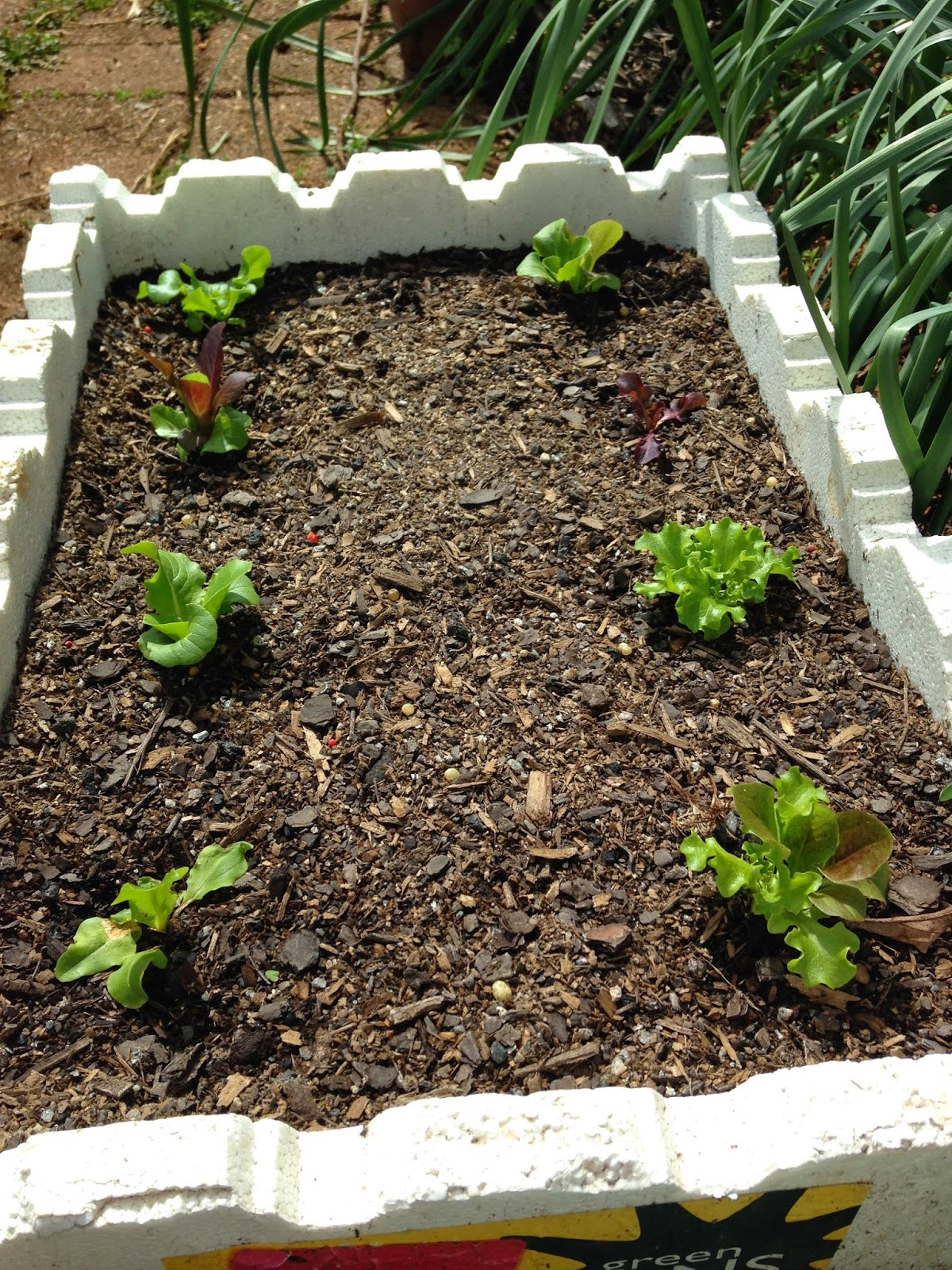My Veggie Garden: Planting Lettuce in a Styrofoam Box/Pot/Container.