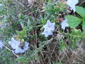 Lilthospernum heavenly blue