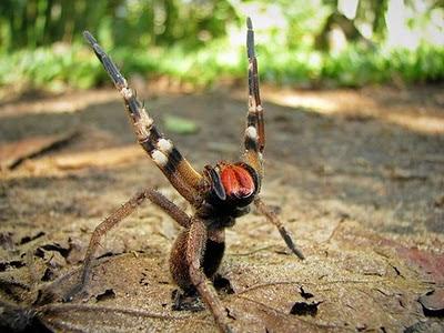 Aranha brasileira é melhor que viagra