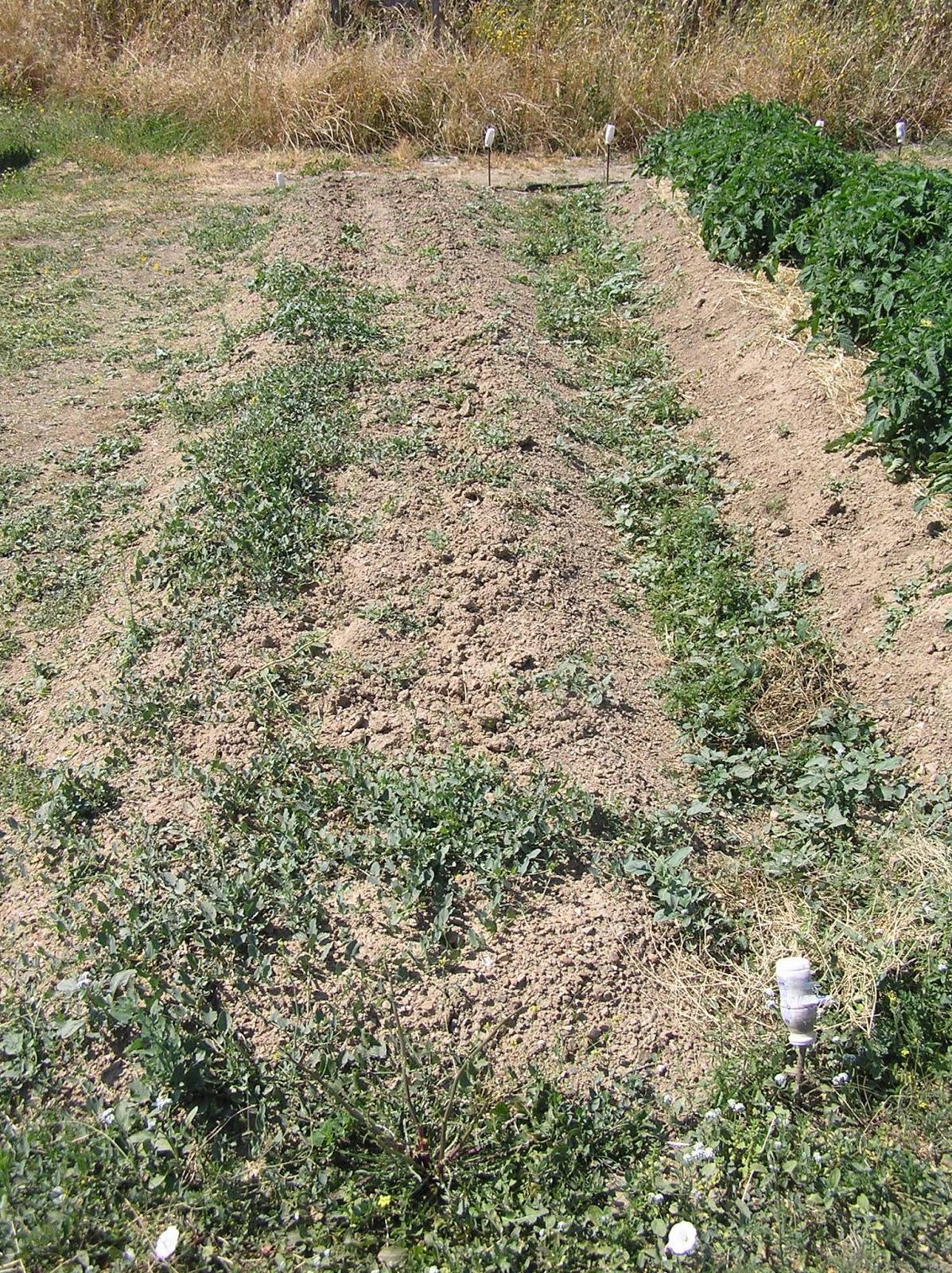 El huerto es facil cultivo de jud as verdes - Cultivar judias verdes ...