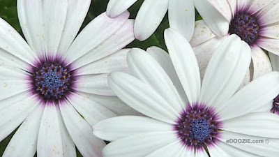 white daisies or daisys with blue purple centers