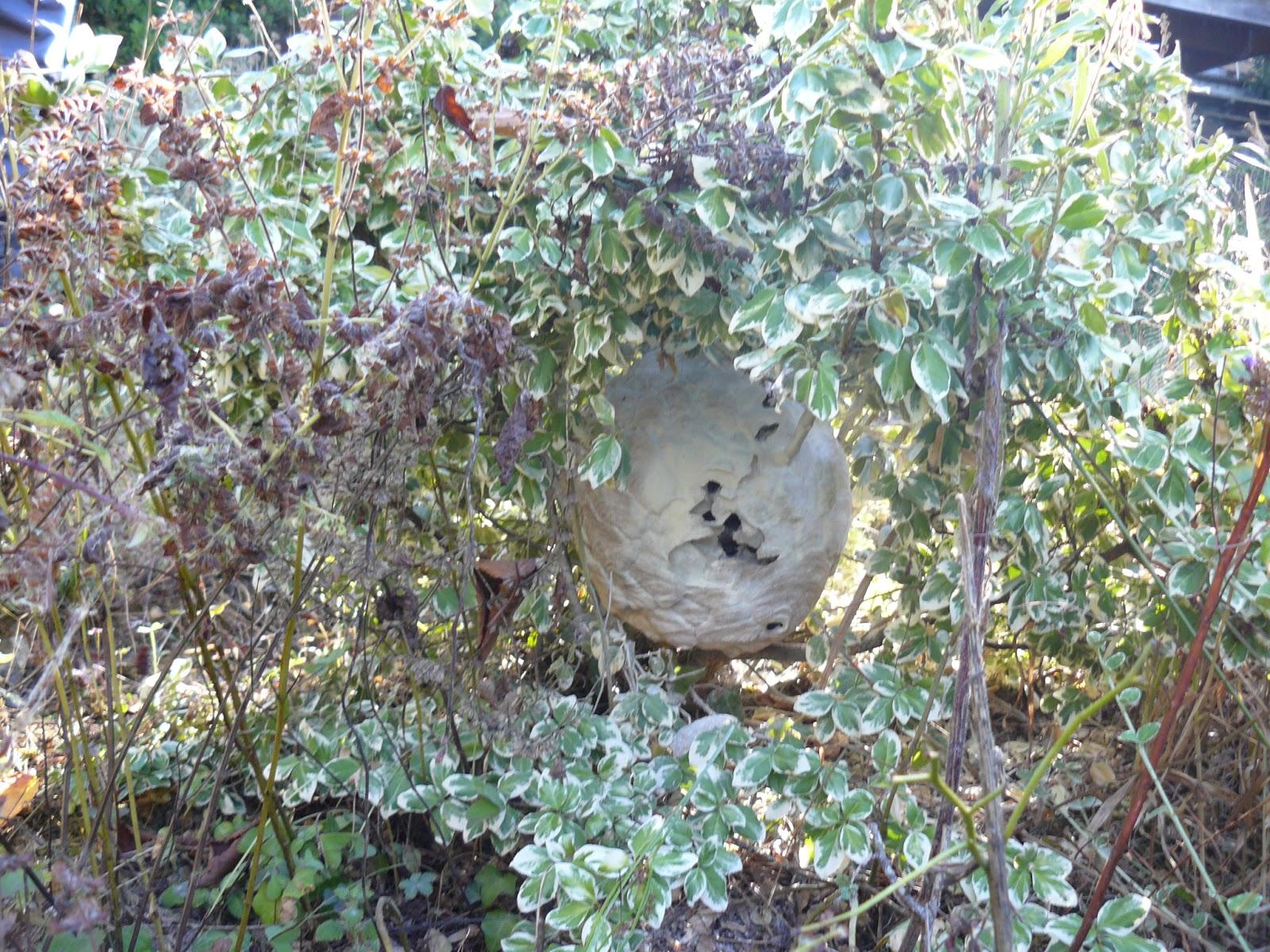 Abat frelons et gu pes nid de frelons asiatiques dans for Ou se promener dans les yvelines