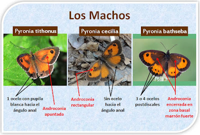 Diferencias entre machos de Pyronia tithonus, Pyronia cecilia y Pyronia bathseba