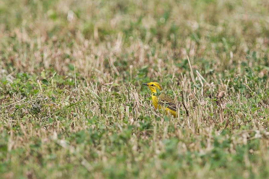 Yellow Wagtail - lutea