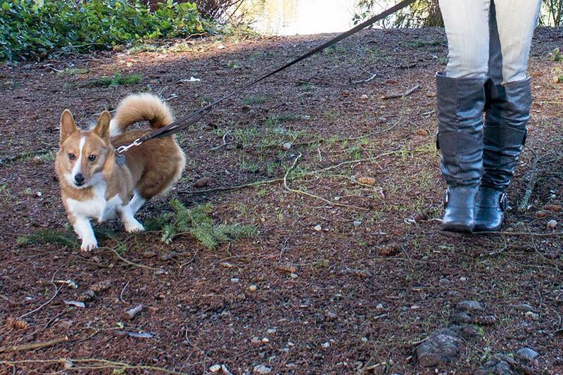 Corgi pulls on leash