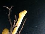 Our Green Tree Python