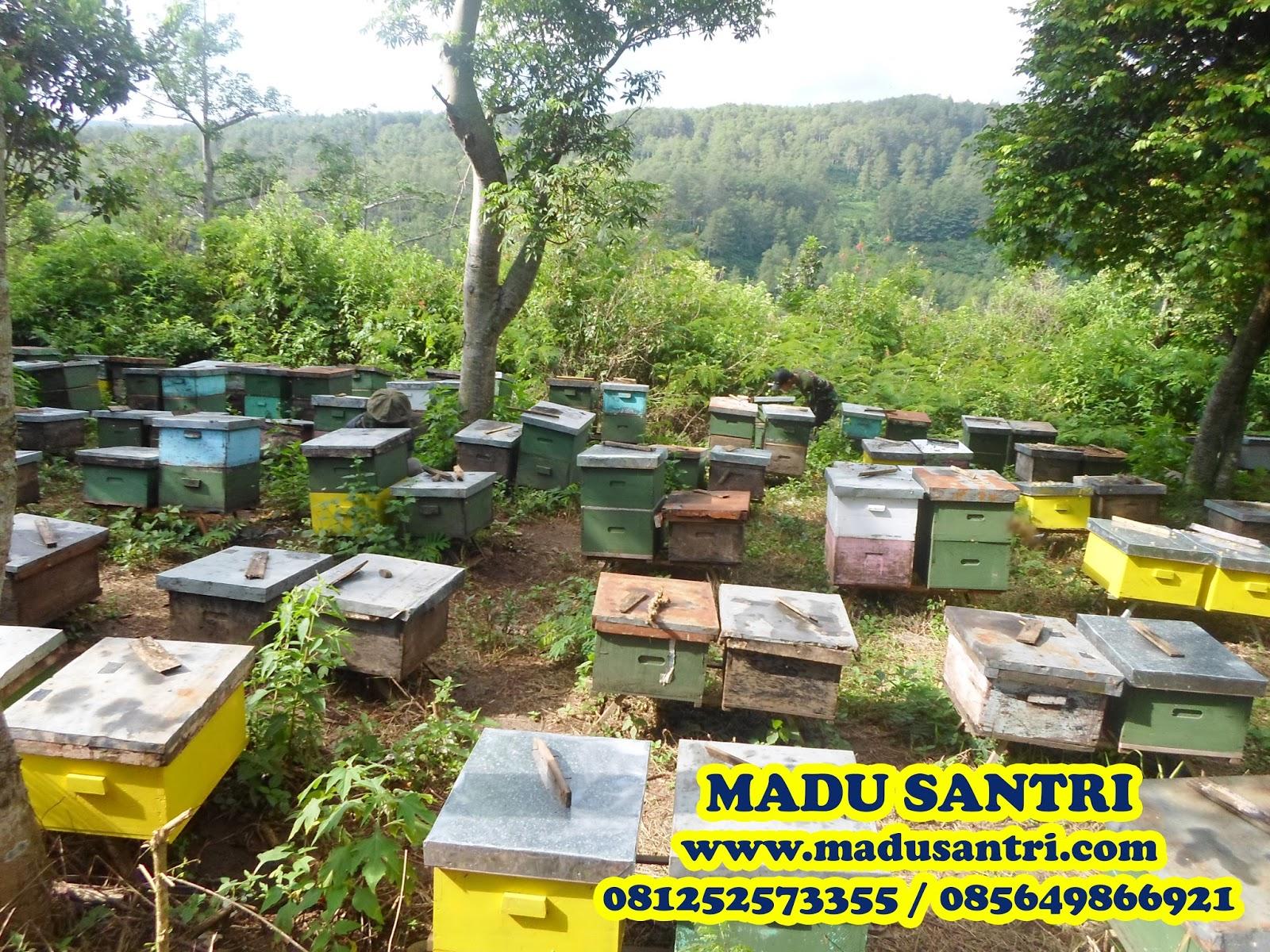 Jual Madu Asli Murni Alami Di Jayapura Grosir Hutan Berikut Adalah Dokumentasi Panen Lokasi Budidaya Lebah Daerah Gunung Wilis Kediri Jawa Timur