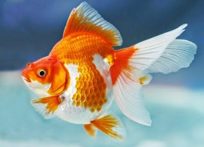 gambar ikan - gambar ikan mas