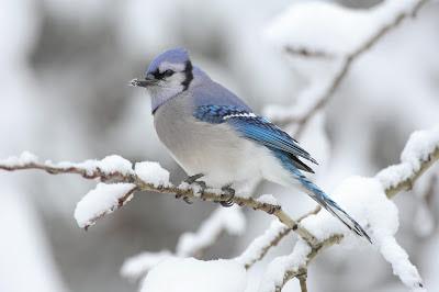 أفضل صور عام 2006، طائر جاي الأزرق في كندا