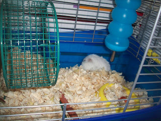 Marshmallow Dwarf Hamster