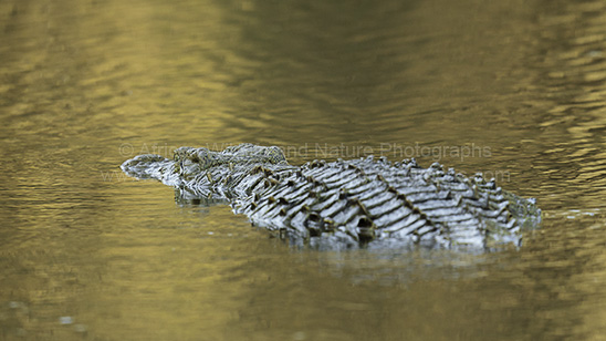 Picture of a Nile Crocodile (Crocodylus niloticus)