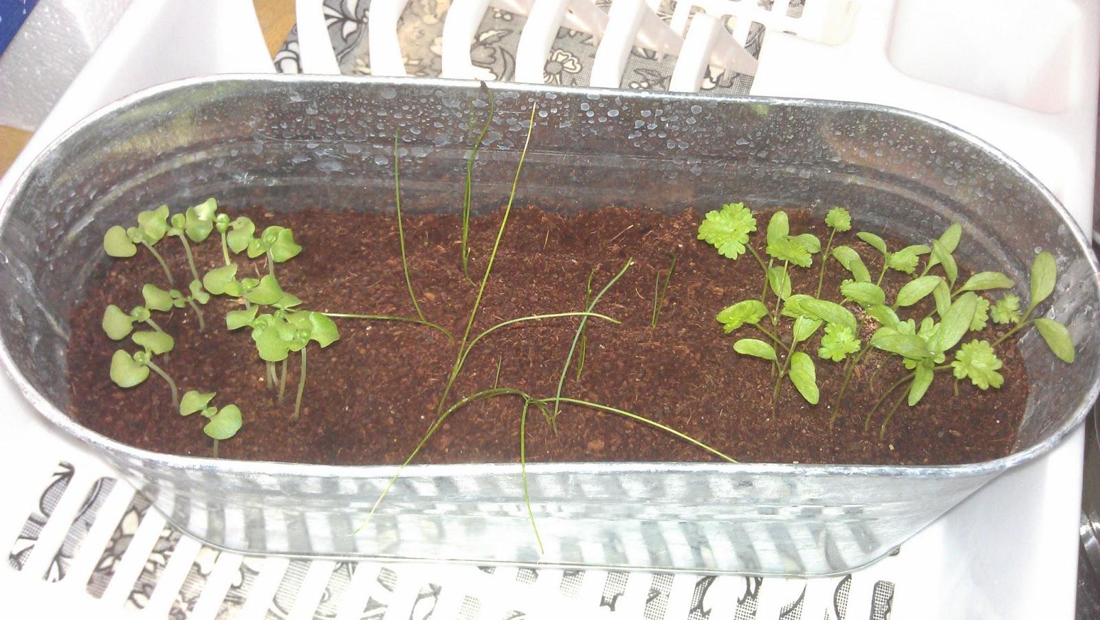 Diary of a Clueless Urban Gardener: Buzzy Seeds Windowsill Kit