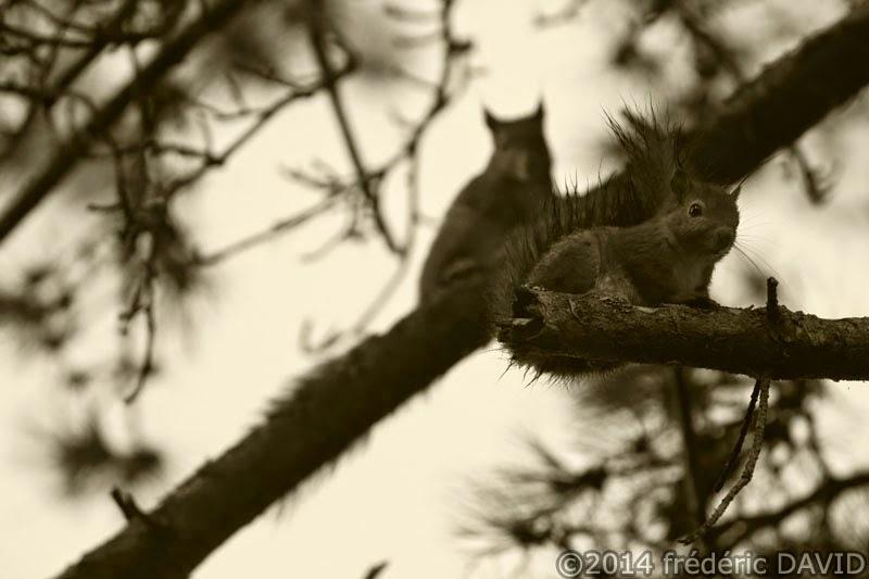 nature animaux écureuils branche pin forêt Fontainebleau Seine-et-Marne