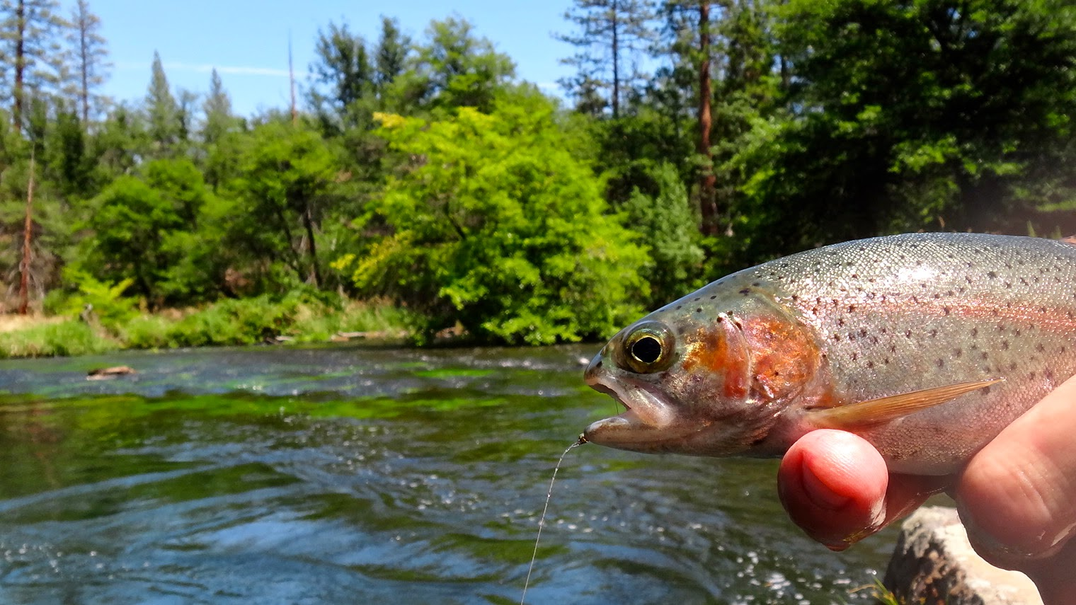 The fly syndicate hat creek california spring creek fly for Hat creek fishing