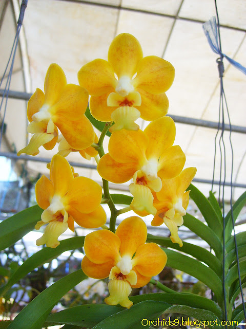http://3.bp.blogspot.com/-4nILiMvQ4gU/Tw4sm4fEuwI/AAAAAAAABVU/hw6O4avXagw/s1600/Vanda+denisoniana+Orchid+Flowers+Pictures+52.JPG