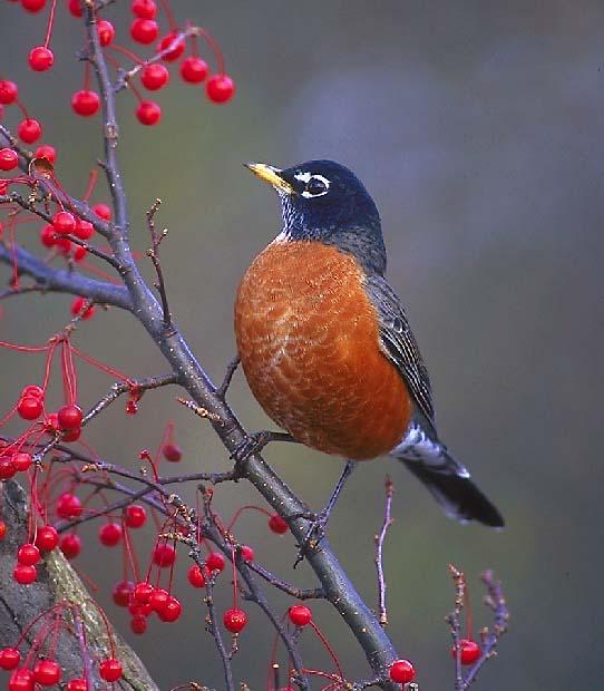 The SCC Bird Nerd: American Robin American Robin Bird