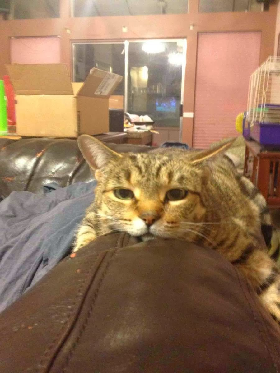 Funny cats - part 77 (35 pics + 10 gifs), cat funny pictures, pictures of cats, funny cat