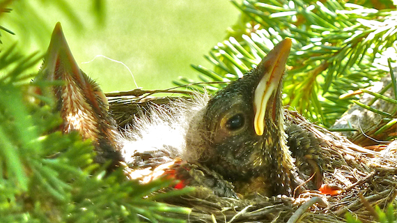 baby birds in a nest located in Wisconsin