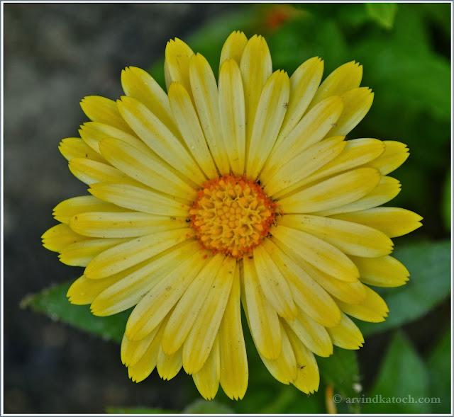 Yellow, yellow shades, Flower