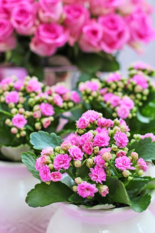 Of spring and summer flowers by ingrid and titti happy pink roses kalanchoe mightylinksfo Image collections