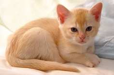 How much does a Burmese Kitten Cost?