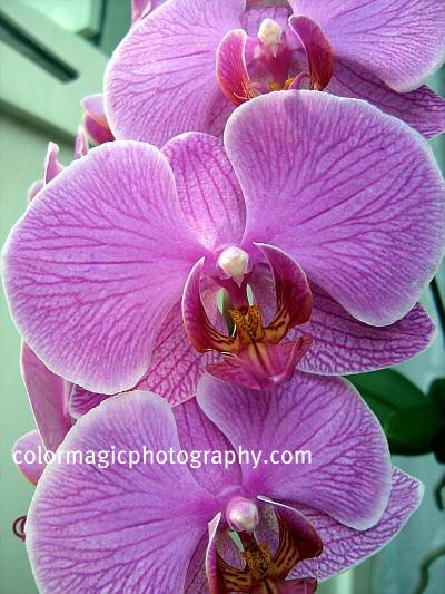 pink-magenta orchid - closeup photo