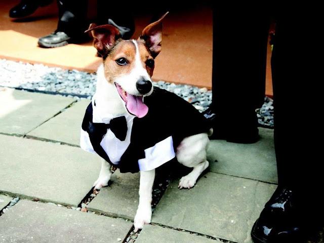 dogs in weddings, dogs wearing tuxedo