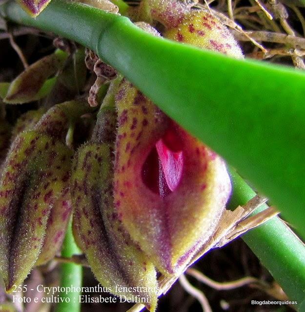 Cryptophoranthus fenestratus, Pleurothallis fenestra, Acianthera fenestra