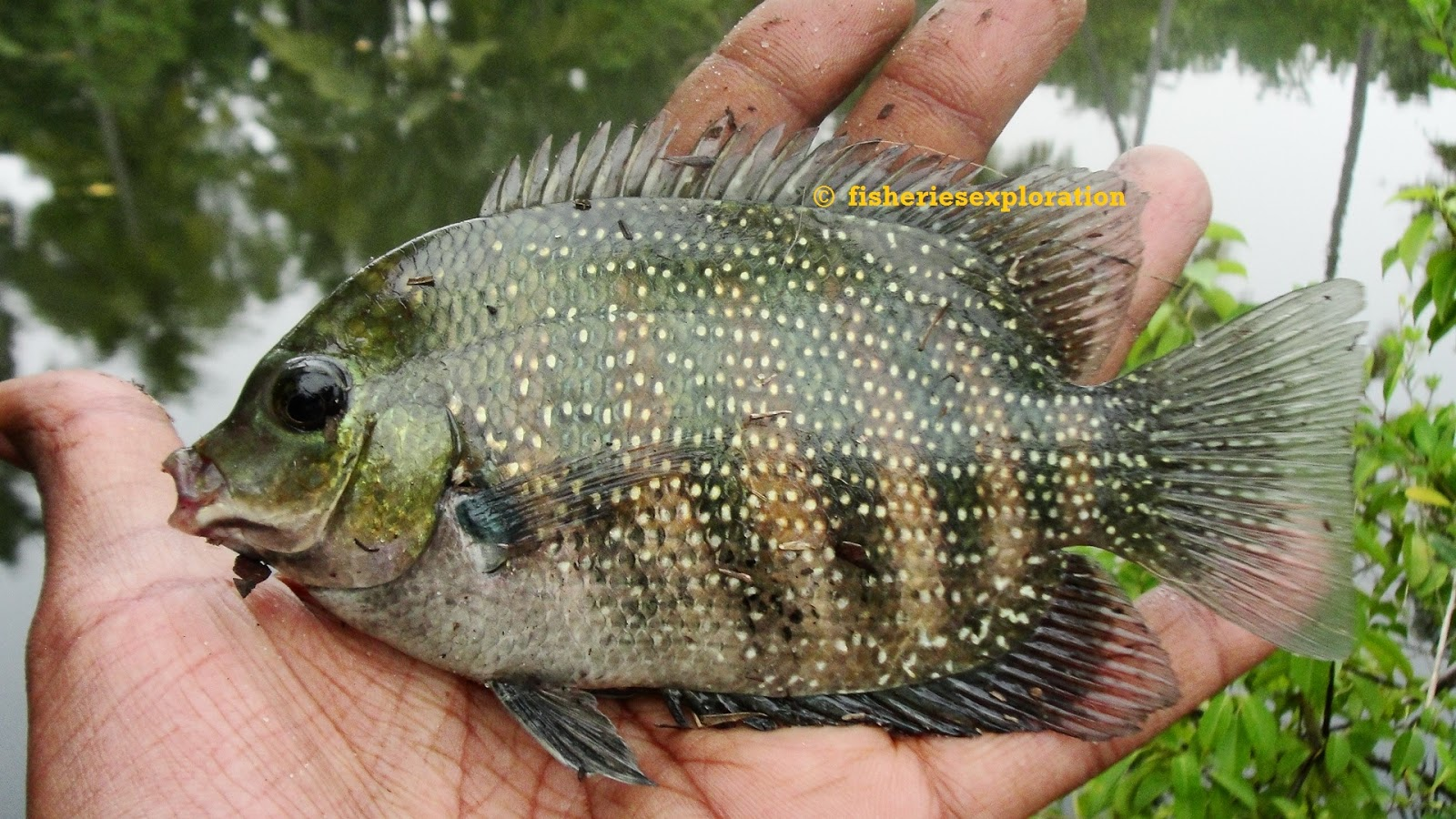 ... (Fishexcos): Etroplus suratensis- Green chromide/pearl spot