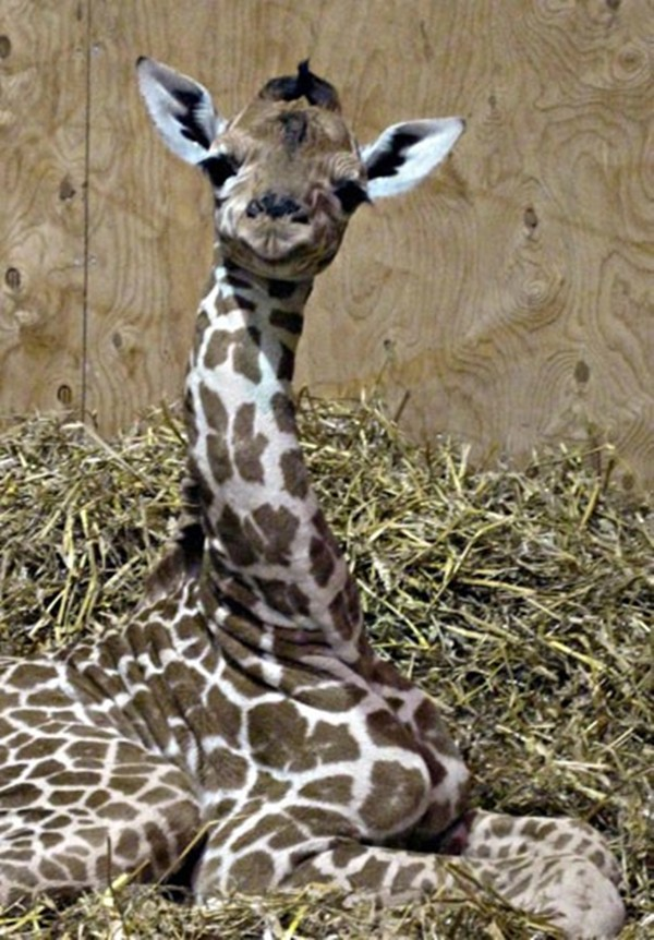 New born giraffe at bristol zoo, baby giraffe pictures, baby giraffes
