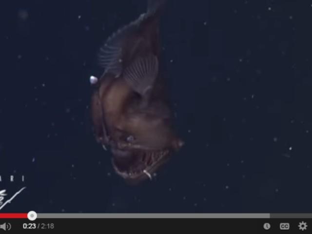 ikan anglerfish didokumentasikan untuk pertama kali