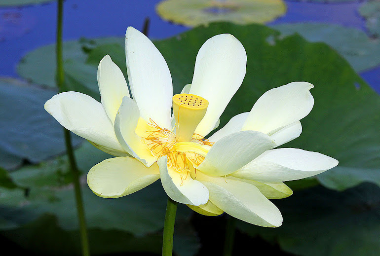 Lotus Blossom, Claiborne County, MS