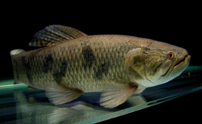 goliath tiger fish aquarium