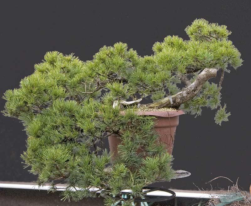 walter pall bonsai adventures mugo pine cascade material. Black Bedroom Furniture Sets. Home Design Ideas