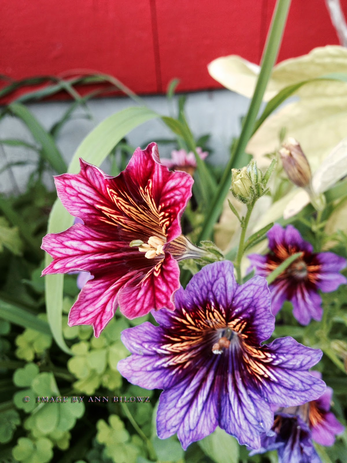 Salpiglossis sinuata 'Painted Tongue'