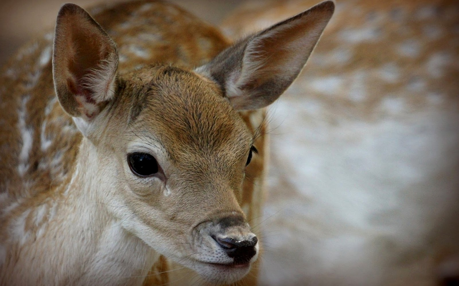 beautiful wallpapers deer wallpaper