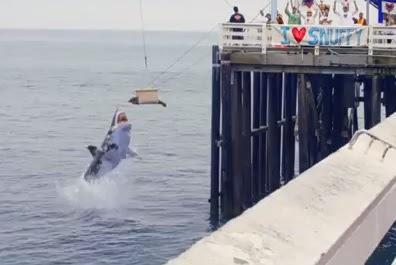 tiburón se come a una foca en transmisión de comercial de discovery channel