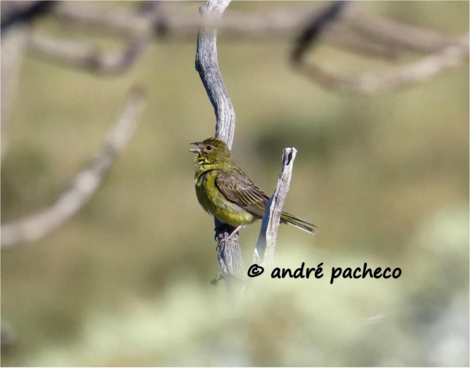 André Pacheco Aroeira: Fêmea de Sicalis citrina vocalizando (canário rasteiro)