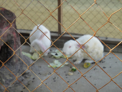 Rabbits at Turtle Farm Tanjong Benoa Bali