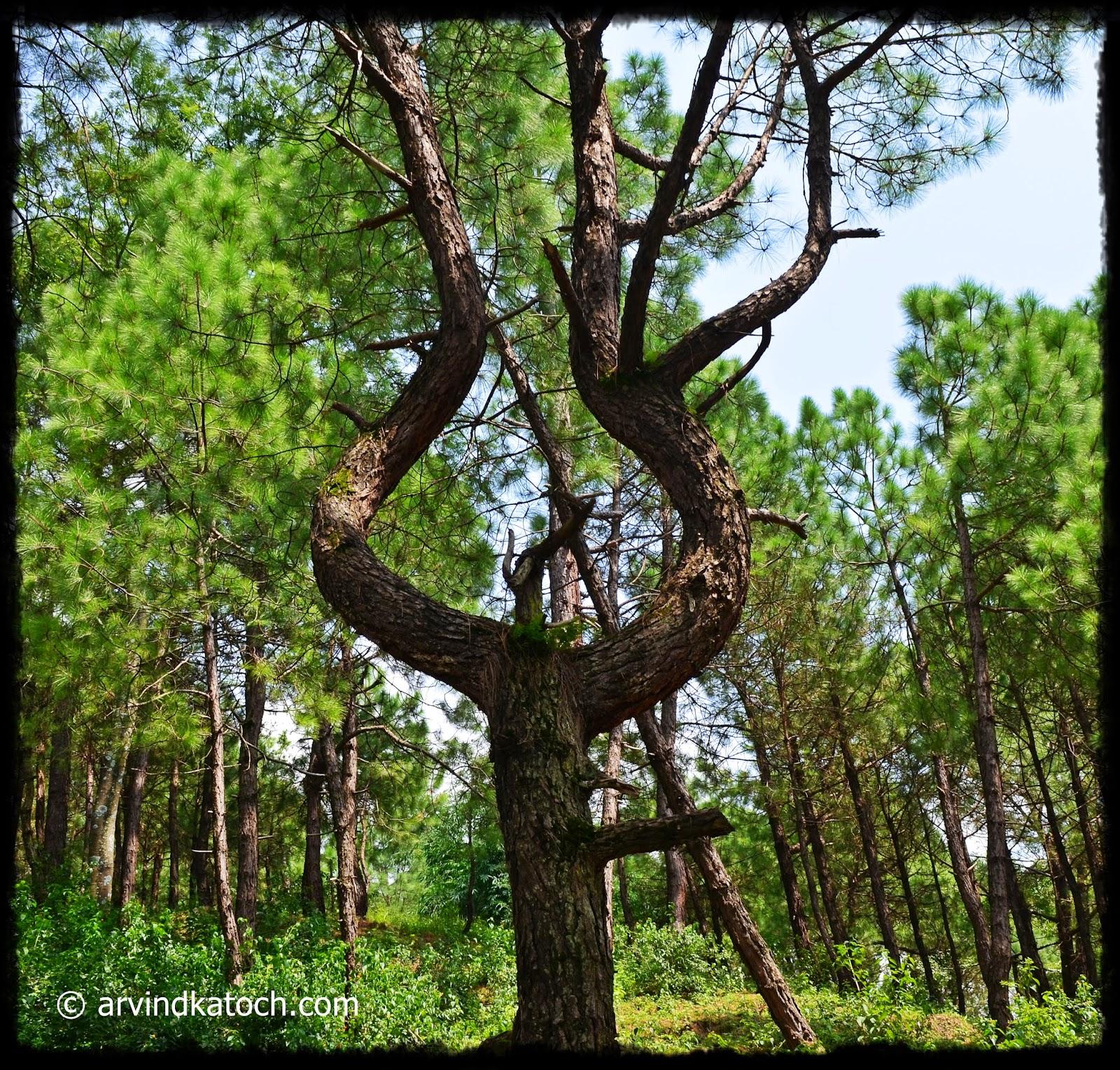 Chir Pine Tree, Pine Tree, Unique Shape,