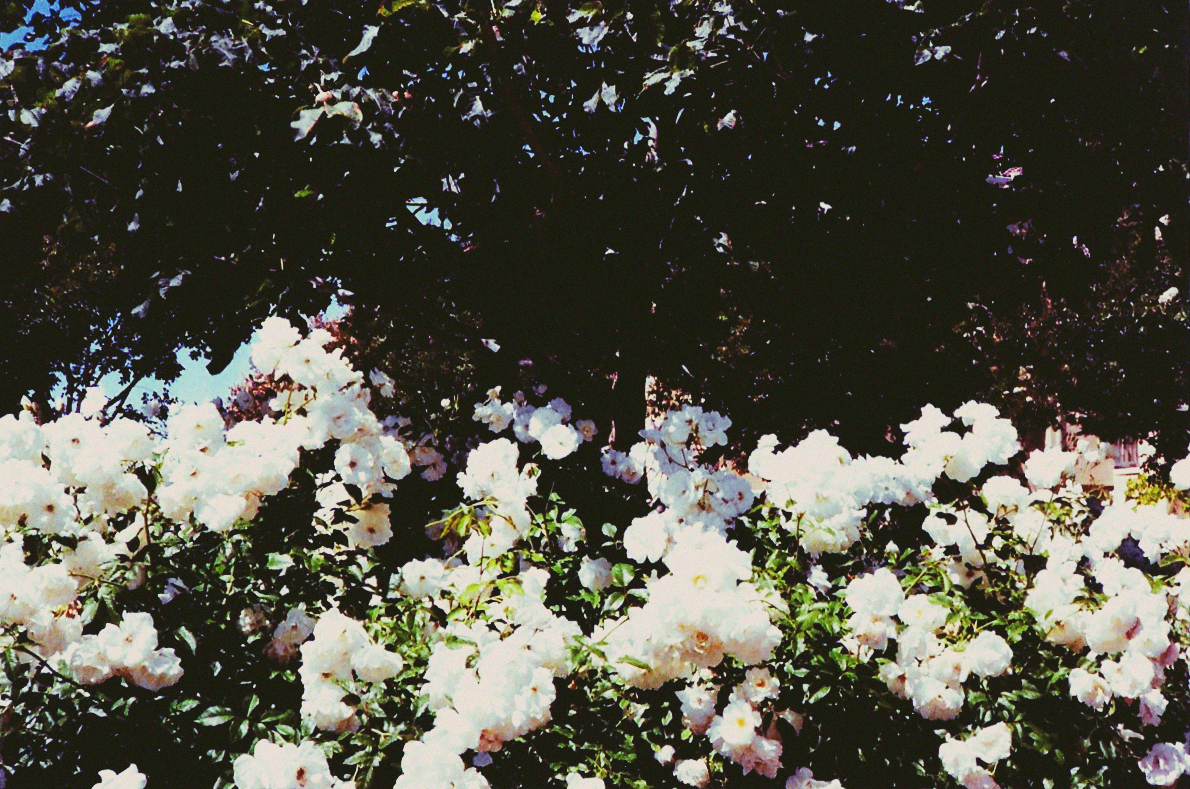 35mm photo of white roses