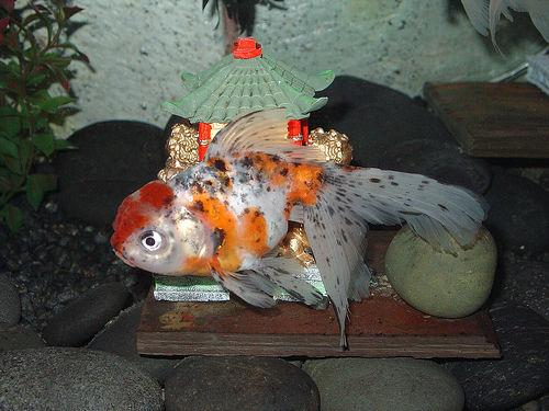 Species of Golden fish | Freshwater, Salt Water Aquarium Fish Tips