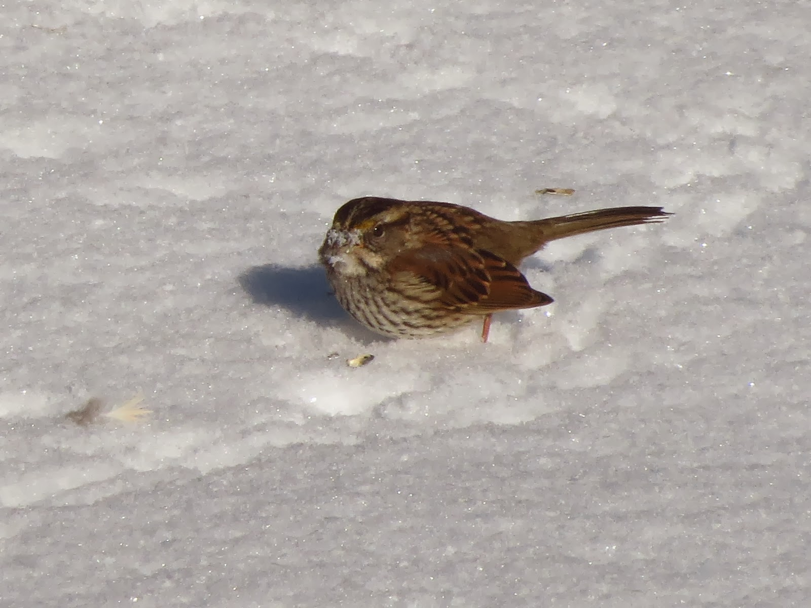 white throated sparrow with face full of snow