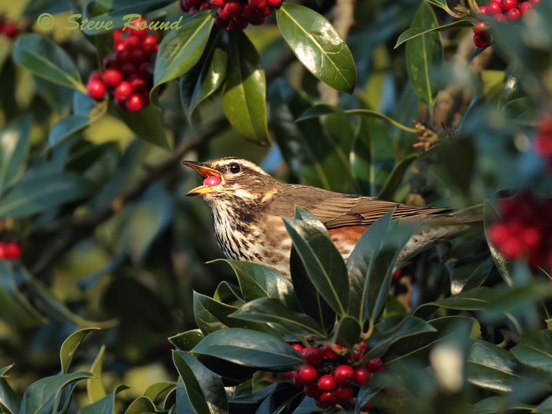thrush, redwing, festive, season, winter, bird, berries
