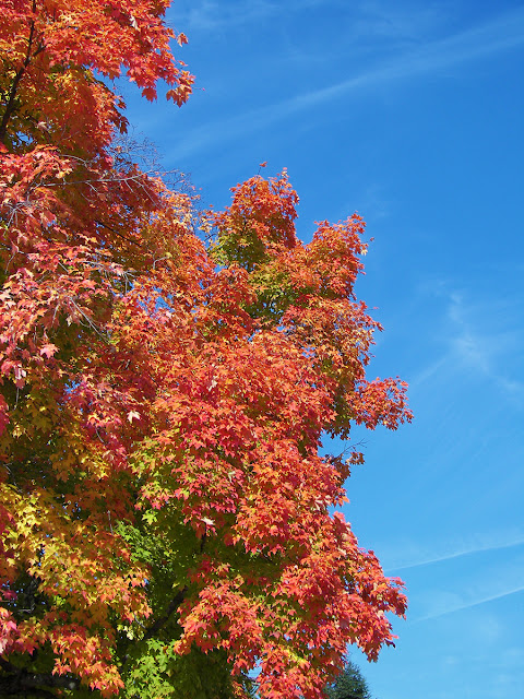 Orange and gold leaves on a maple tree