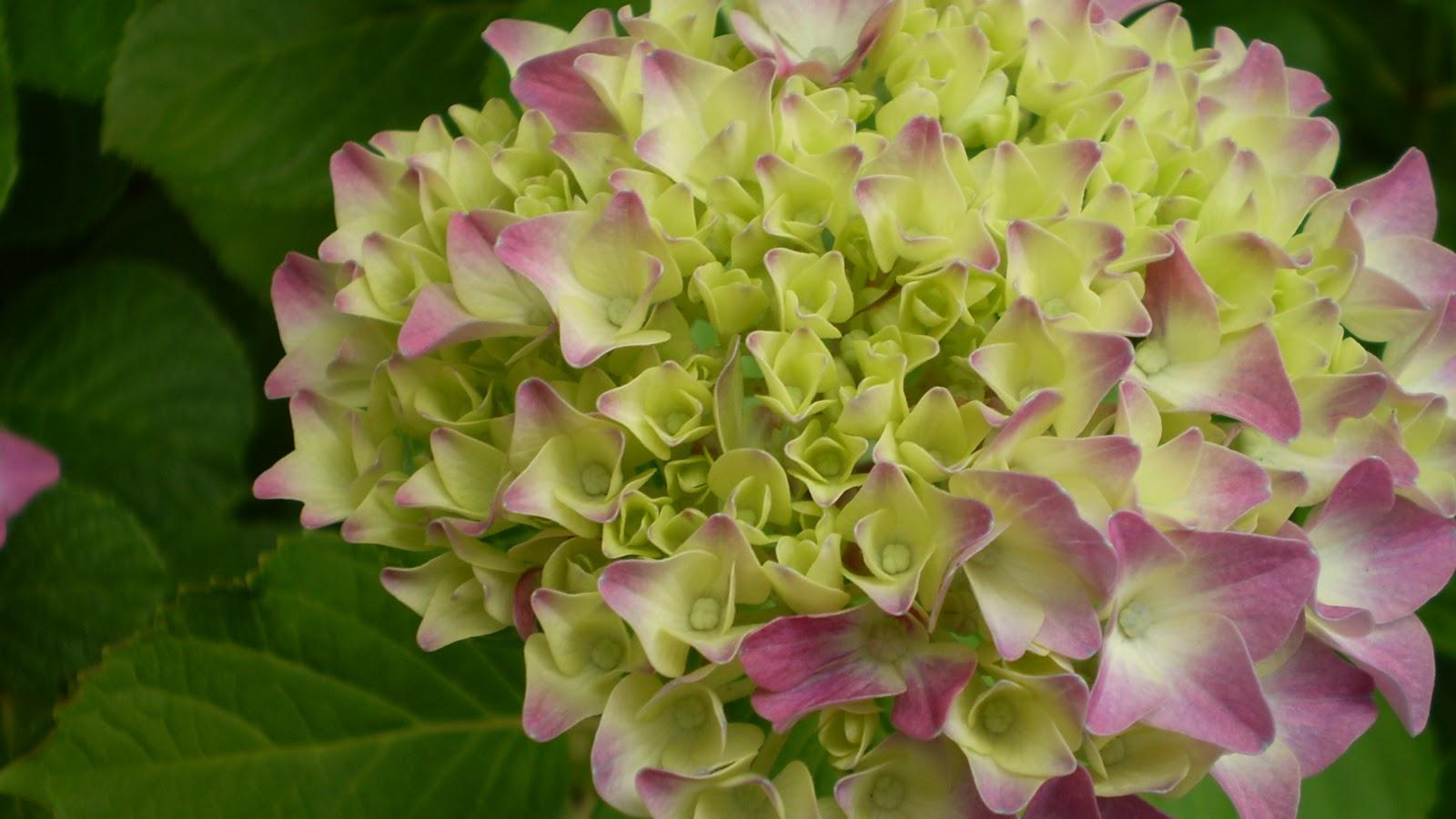 El jardinero urbano hortensias hydrangea mundos for Hortensias cultivo y cuidados