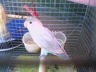 om hoby harga lovebird pastel putih berdasarkan umur