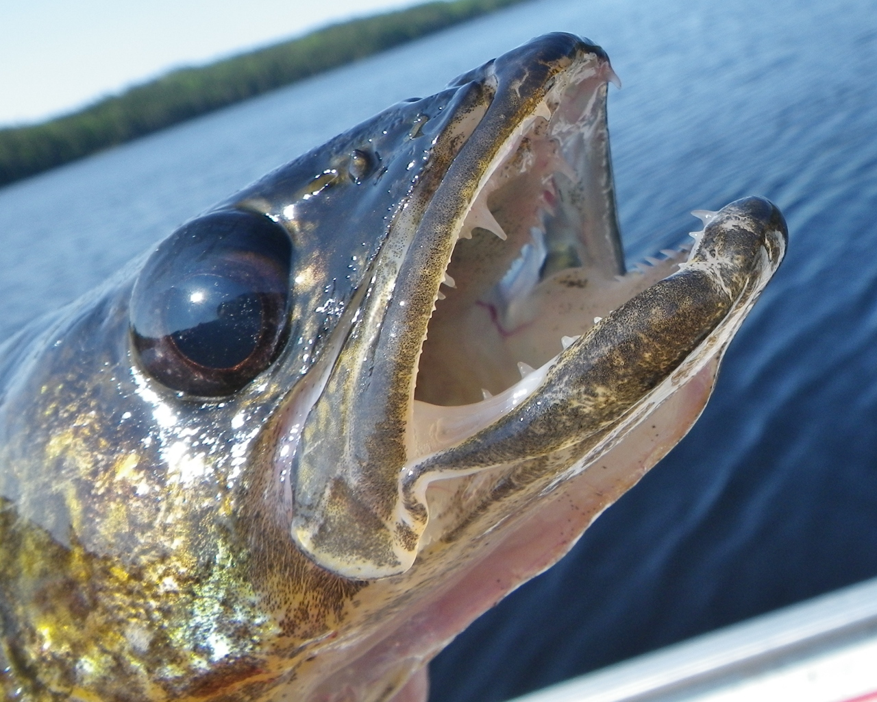 how to fish for walleye from a boat
