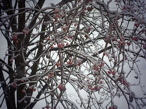 snow, ice, trees, winter, berries, Christmas